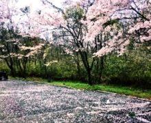 4月上旬の3日間イベント「さくらまつり」(ひぐらし茶屋)