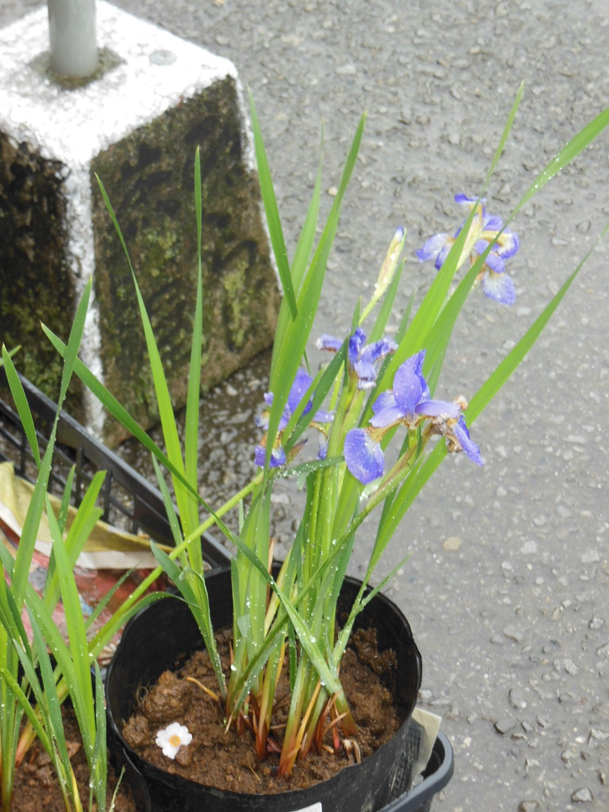 【お花】アヤメとこばん草(ひぐらし茶屋)