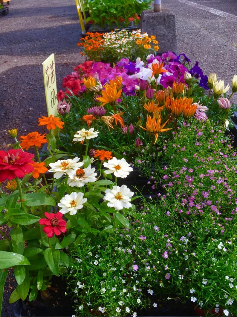 【出荷情報】各種花の苗(ひぐらし茶屋)